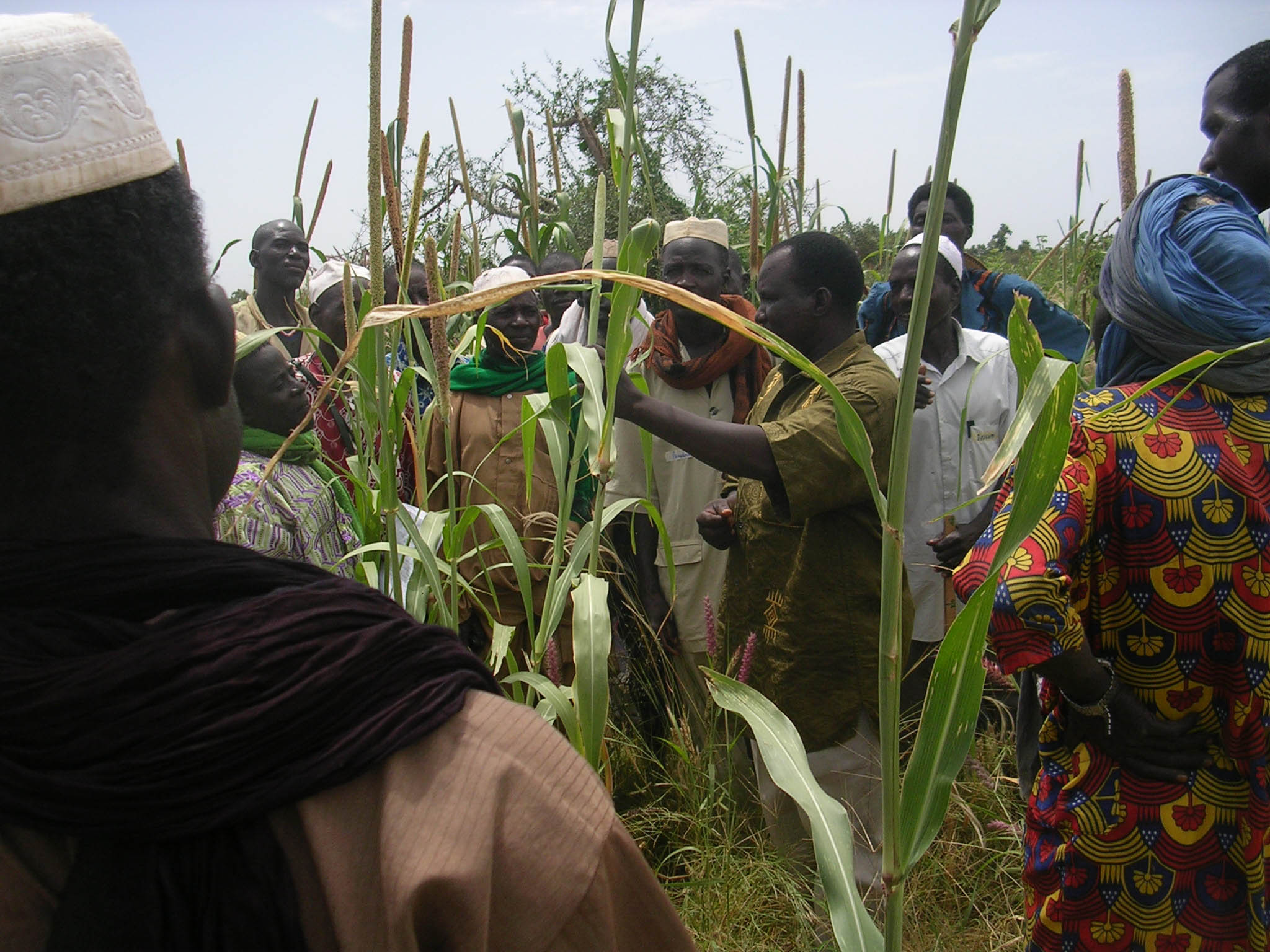 Farmers are trained on pearl millet phenology, which studies the plant life cycle and how it is influenced by seasonal variations in climate and habitat.