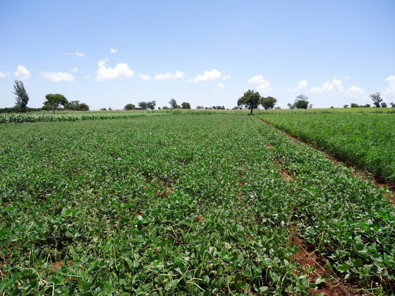 Large Scale Production Of Cowpea In Iramba District, Tanzania
