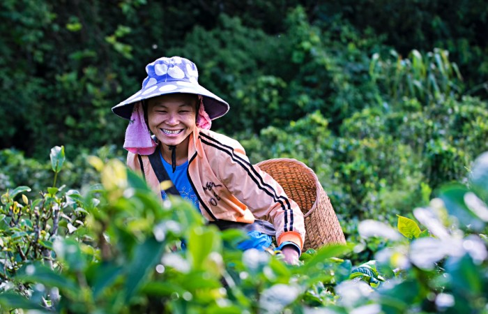 A worker in Southeast Asia collecting phongsaly tea.