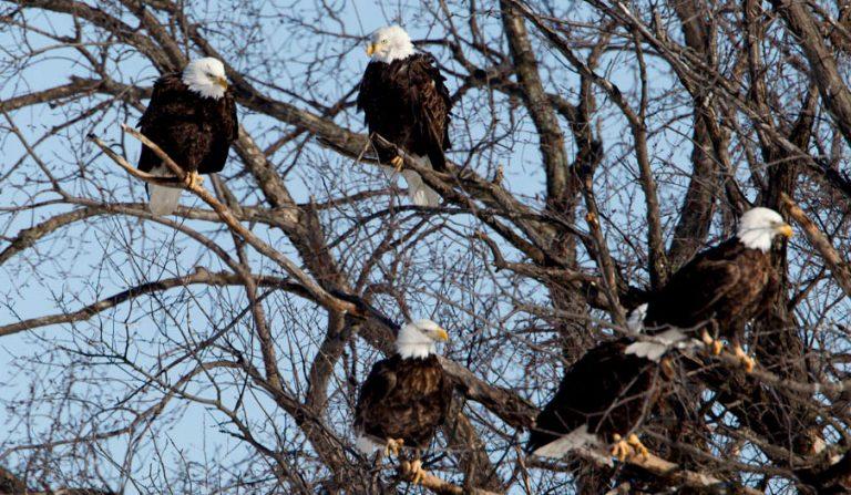 eaglesUpperMississippi