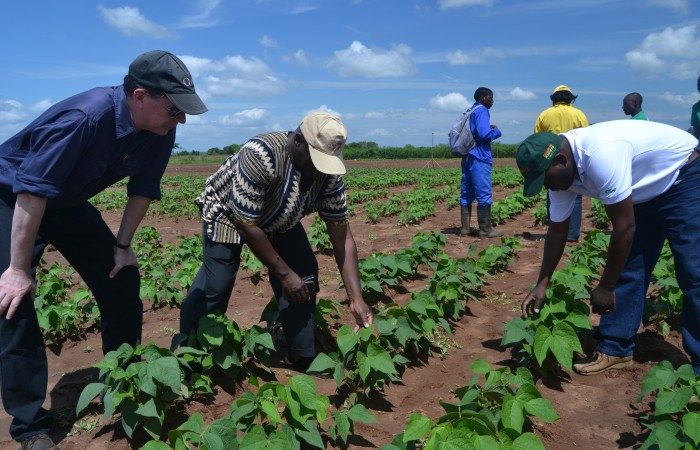 Visiting and local experts examine an outstanding phosphorus-efficient line of legumes in the field at Sussundenga Research Station in Mozambique.